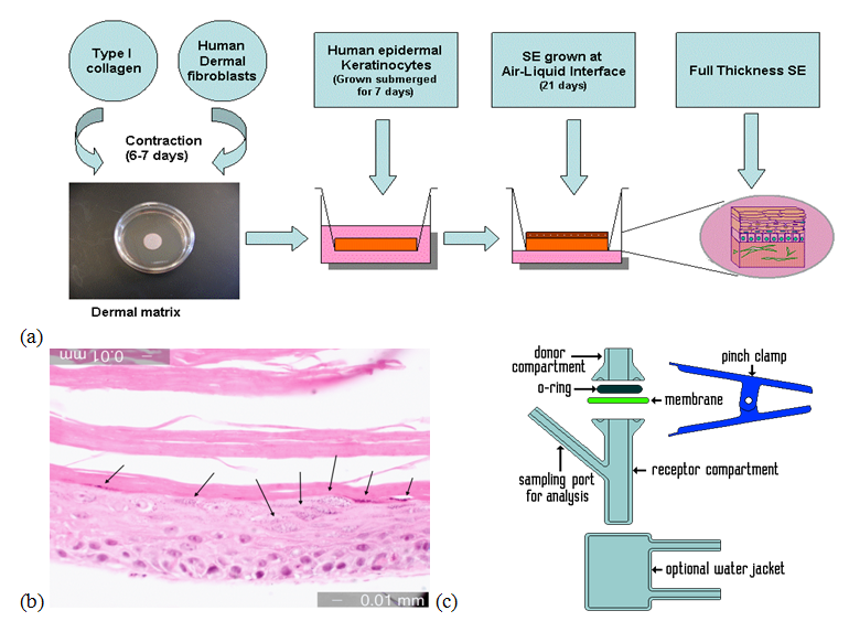 Figure 1. (a) Procedure for culture of collagen HSE; (b) Collagen HSE stratum corneum and differentiated epidermal layers; (c) Diagram of Franz cell used in permeability testing.