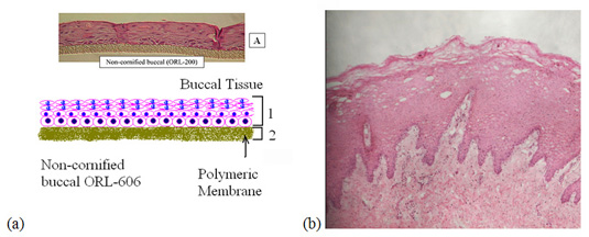 Figure 1. (a) Systematic representation of non-cornified buccal ORL-606 obtained from MatTek Corp. Ashland, MA. Picture (A) from MatTek website at www.mattek.com.  Figure 1. (b) H & E stained porcine buccal tissue after treatment with a proprietary formulation.